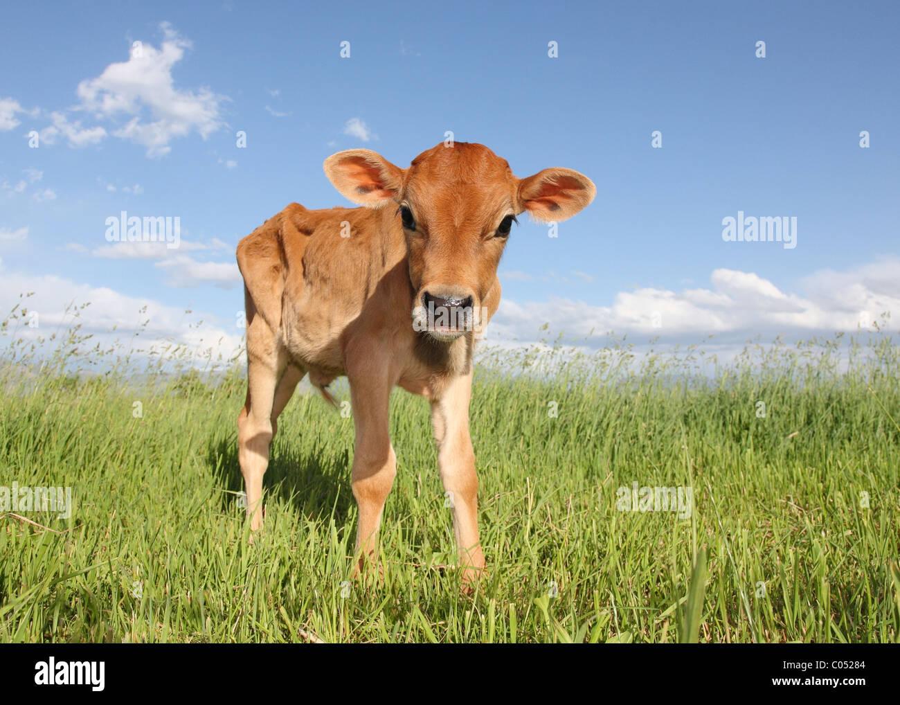 Bebé flaco ternero de pie en el campo solamente Imagen De Stock