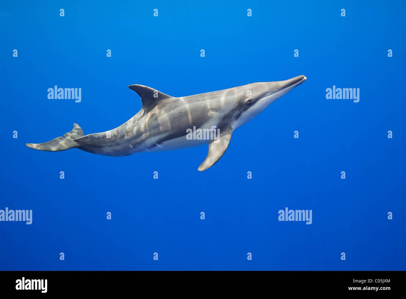 Dientes ásperos, Steno bredanensis delfín, costa de Kona, Big Island, Hawaii, EEUU, Océano Pacífico Foto de stock