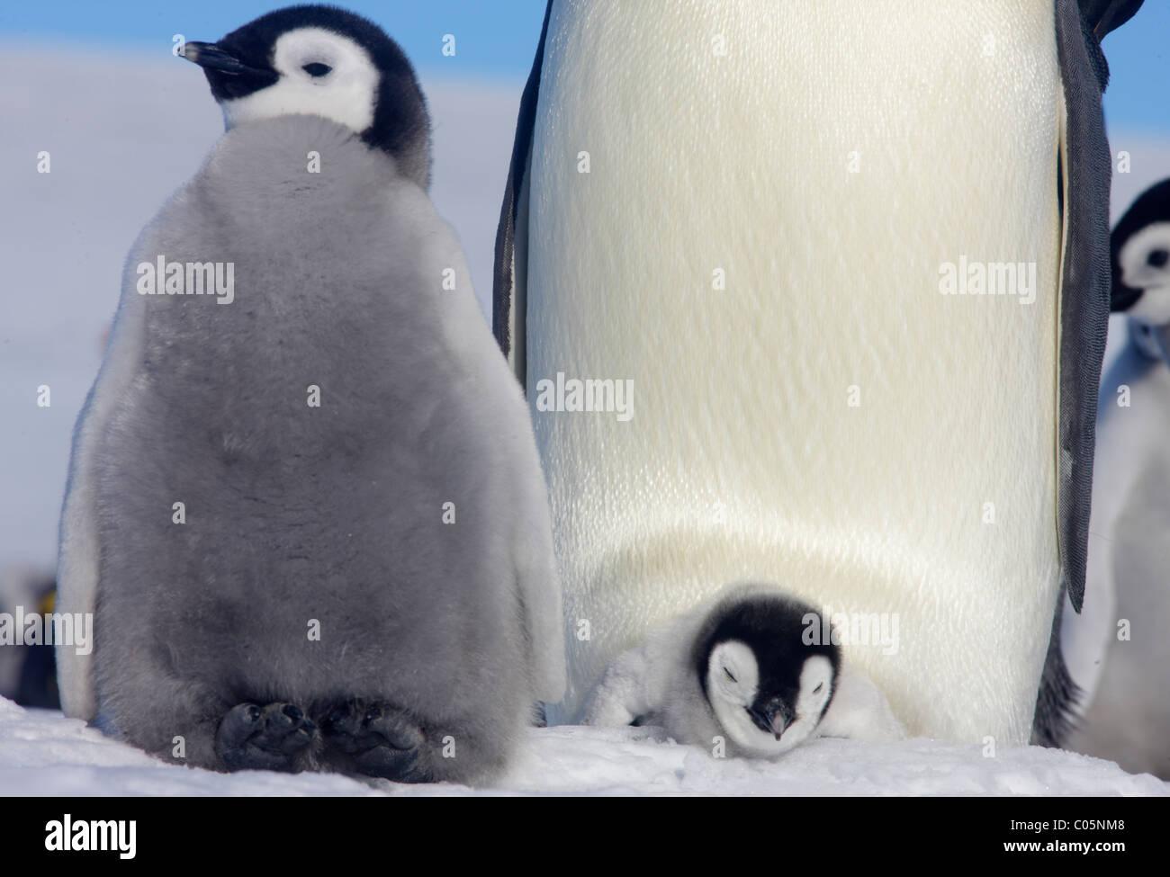 Los pingüinos emperador y polluelos, Octubre, la isla Snow Hill, Mar de Weddell, en la Antártida. Imagen De Stock