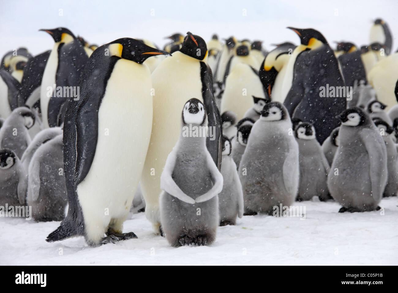 La colonia de pingüinos emperador con pollitos, Octubre, la isla Snow Hill, Mar de Weddell, en la Antártida. Imagen De Stock
