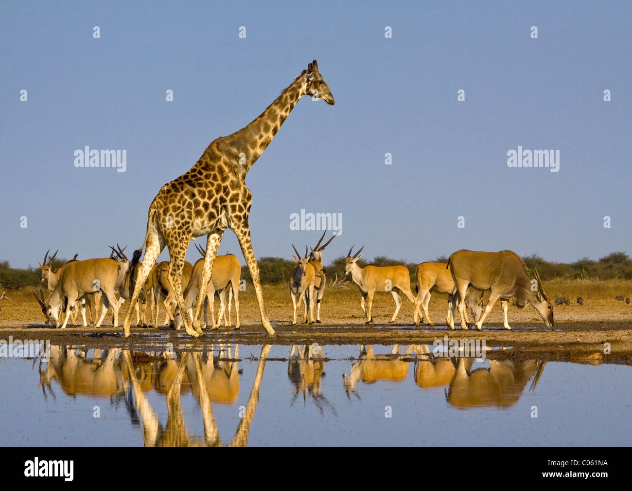 Jirafa y Eland en waterhole, Parque Nacional de Etosha, en Namibia. Imagen De Stock