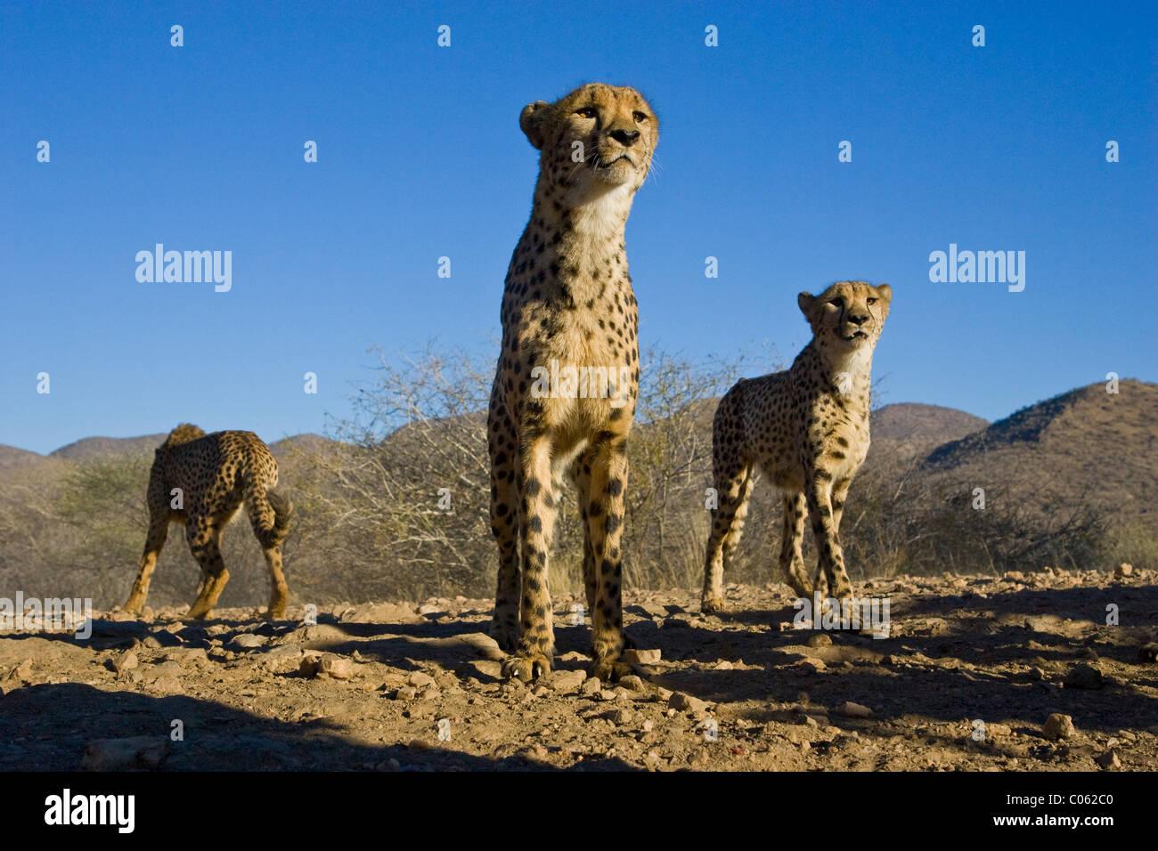 Cheetah de ángulo bajo, Khomas Hochland, Namibia Imagen De Stock