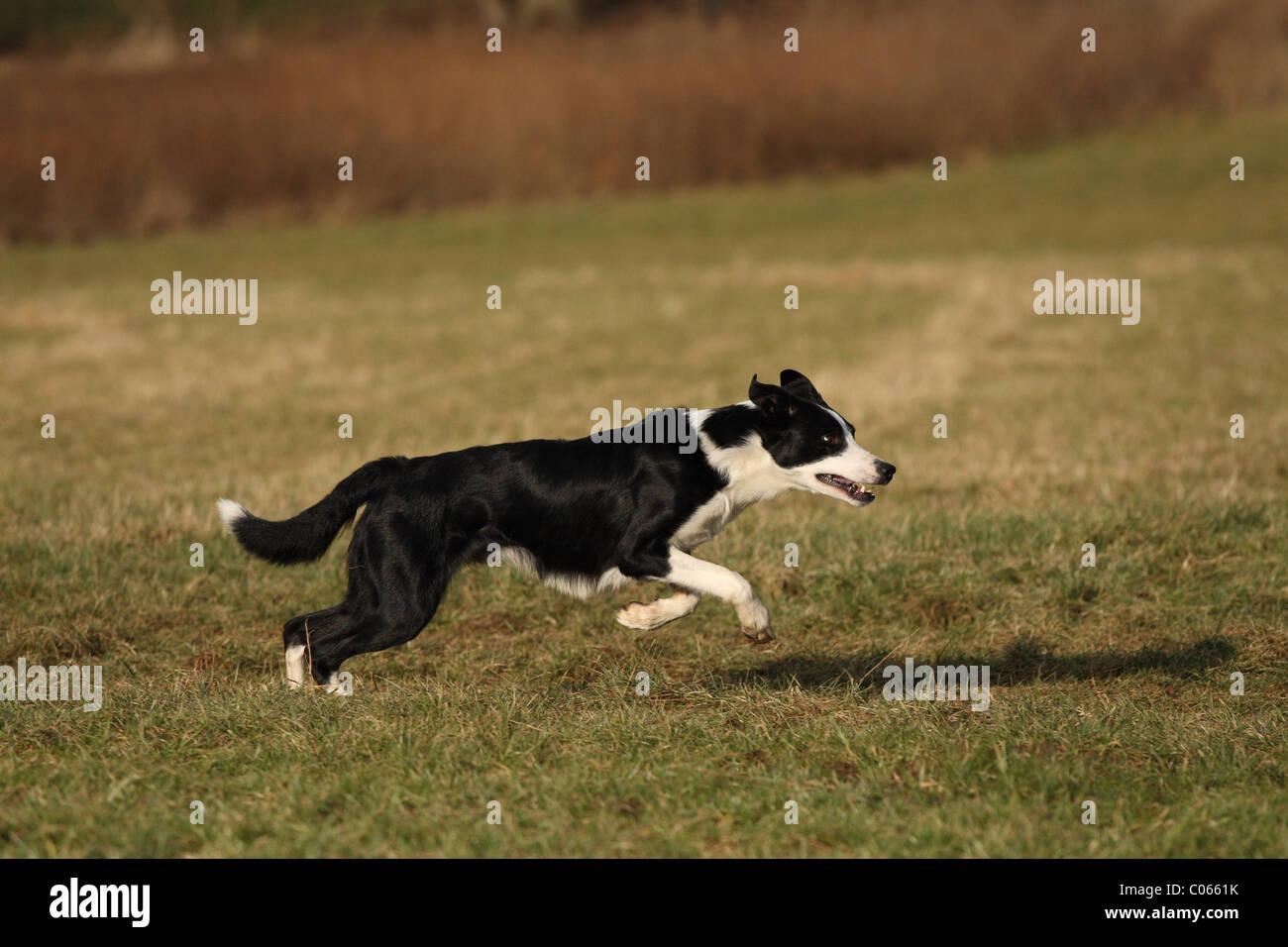 Male Black White Border Collie Imágenes De Stock & Male