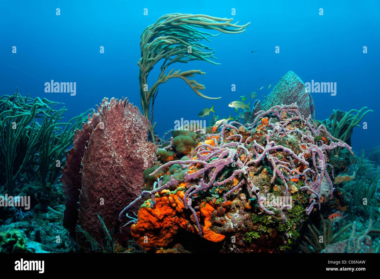 Arrecife cubierto de bloque en un arrecife de coral, varios coloridos secies de esponjas y corales, pequeña Tobago, Speyside Foto de stock
