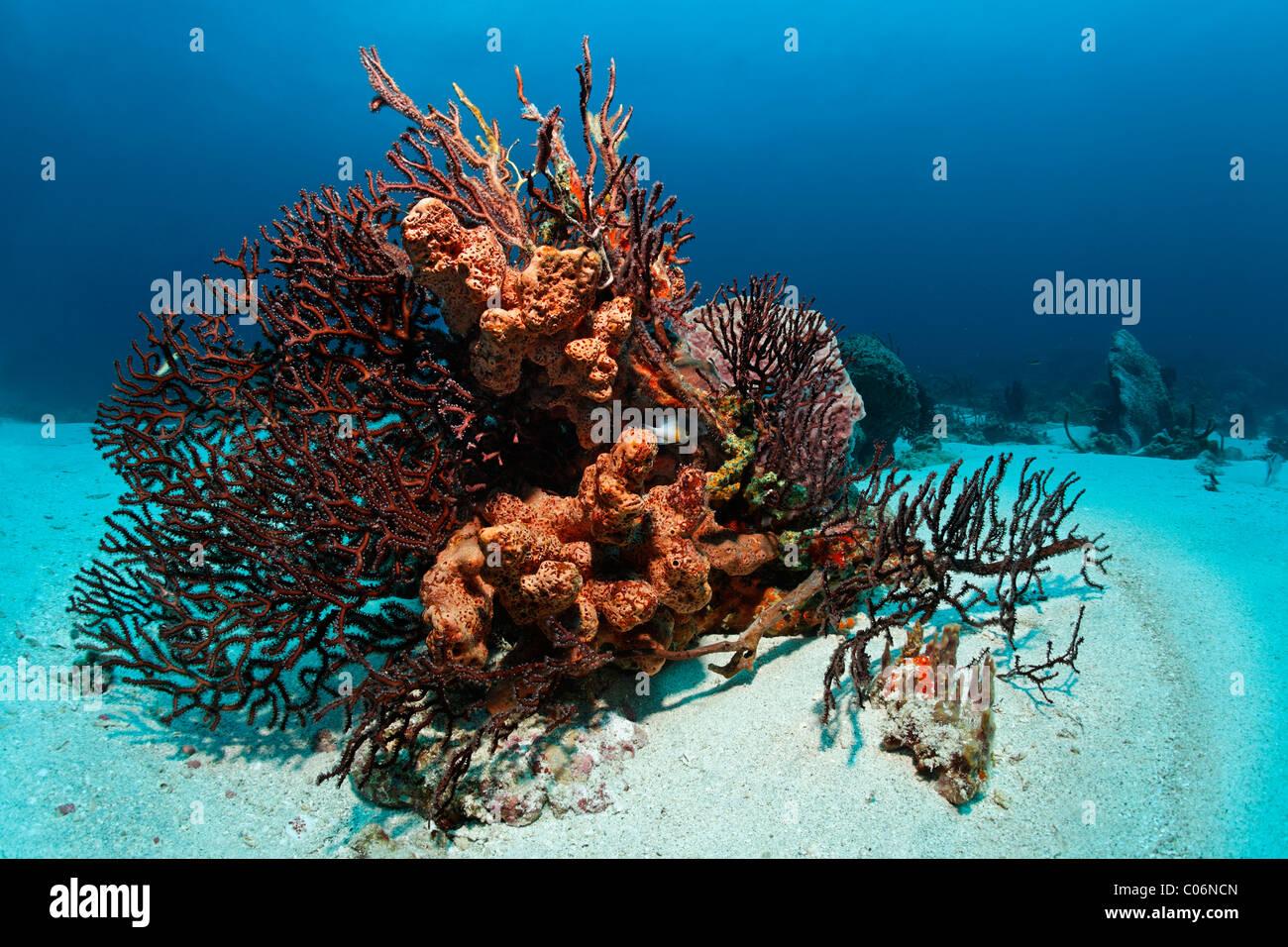 Bloque de coral, arrecifes de coral, cubierto, multicolor, ordena, esponjas, corales, arena, tierra poco, Speyside Tobago, Trinidad y Tobago Foto de stock