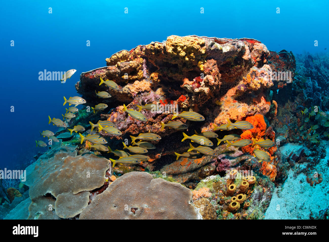 Los arrecifes de coral, los peces, corales y esponjas multicolores diversos, Smallmouth grunt (Haemulon chrysargyreum), Little Tobago, Speyside Foto de stock