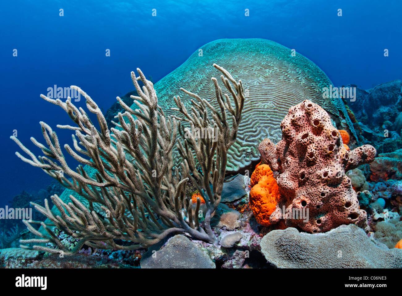 Bloques de coral, el arrecife de coral, cubierto, diversas corales y esponjas multicolores, Little Tobago, SPEYSIDE, Trinidad y Tobago Foto de stock