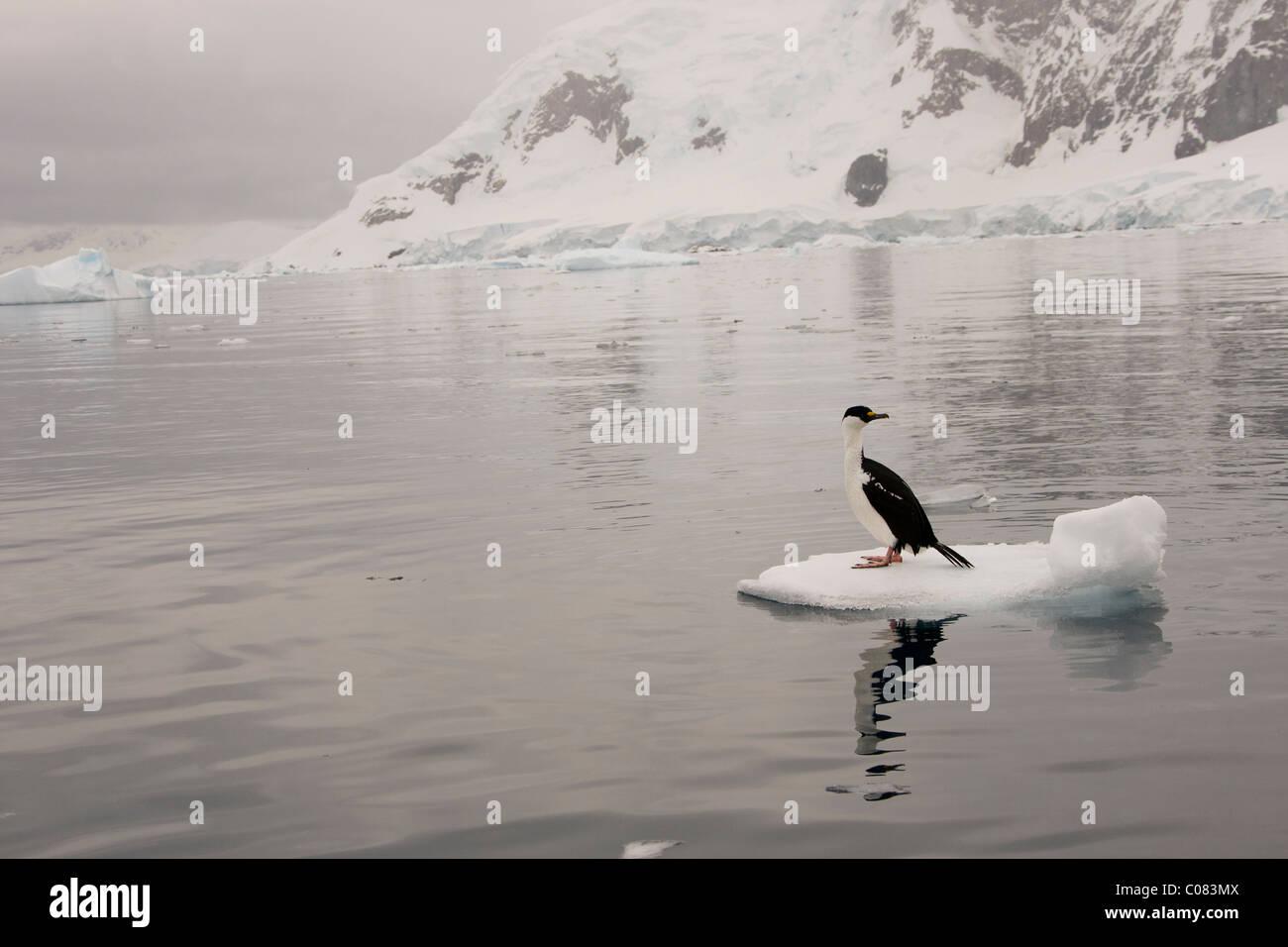 Cormorán Antártico adulto sentado en el flujo de hielo, Brown Bluff, en la Península Antártica. Imagen De Stock