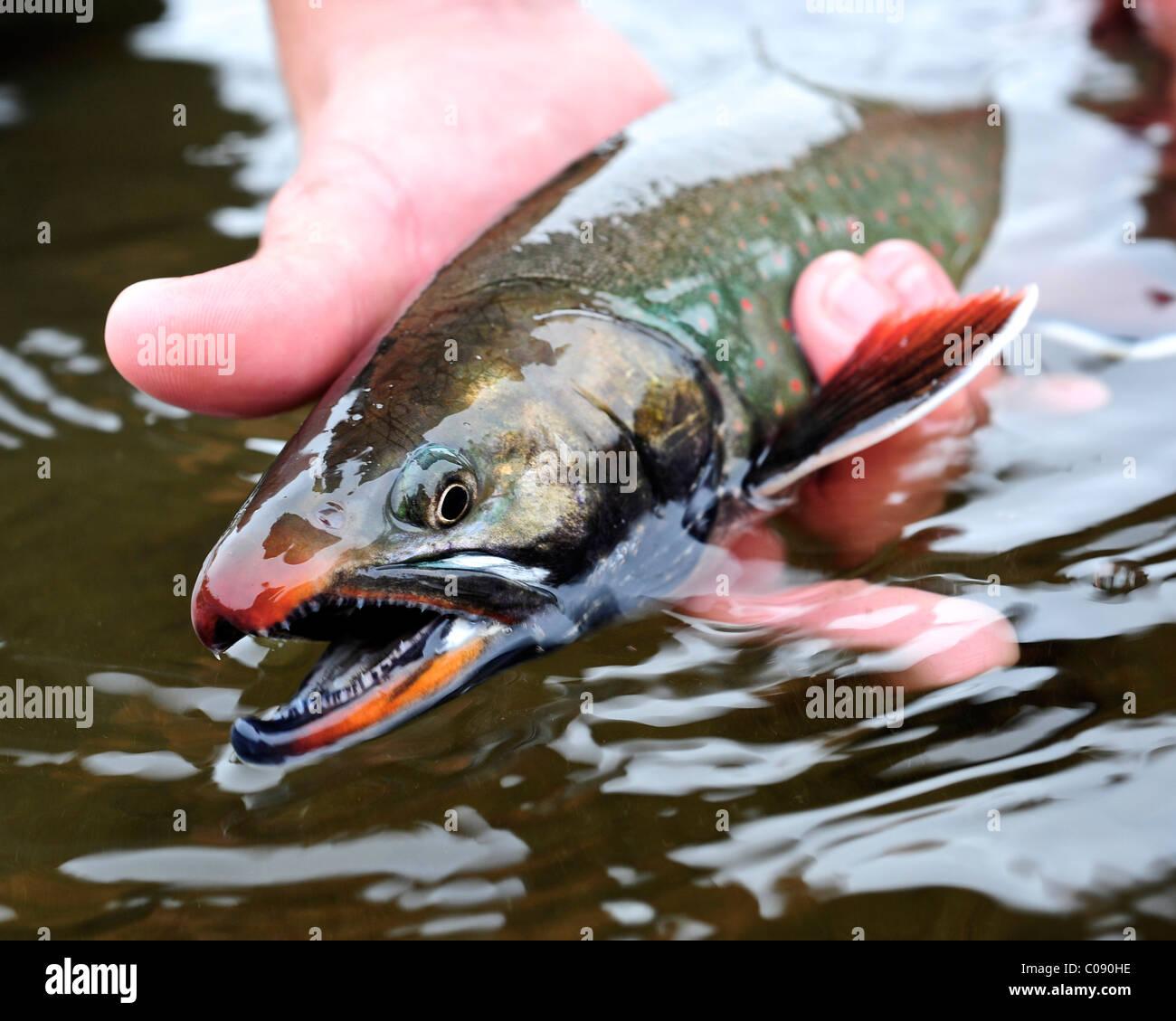 Cerca de una persona mantenga un Dolly Varden char pescaban en Deep Creek, la Península Kenai, Southcentral Imagen De Stock