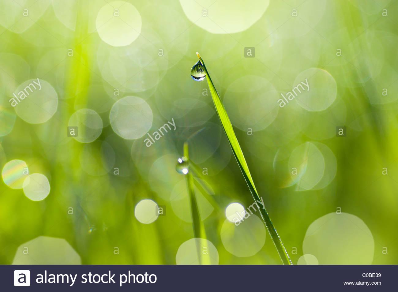 Cerca de una gota de rocío en una brizna de hierba. Imagen De Stock