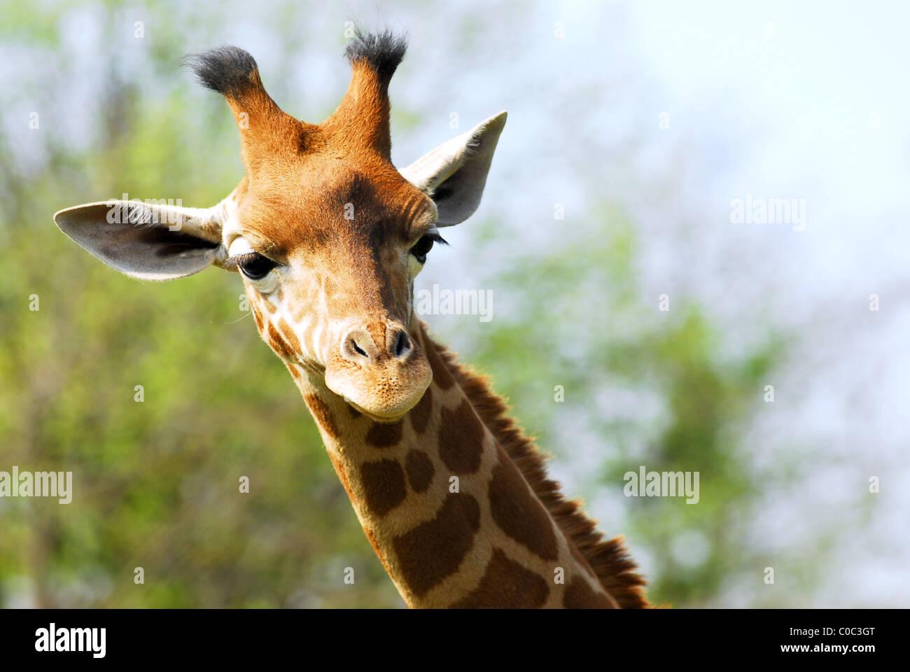 Retrato de rostro joven jirafa (Camelopardalis) Imagen De Stock