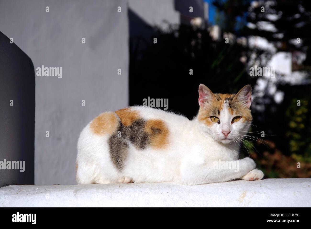 El tricolor nacional gato blanco acostado sobre una pared de adobe. Imagen De Stock