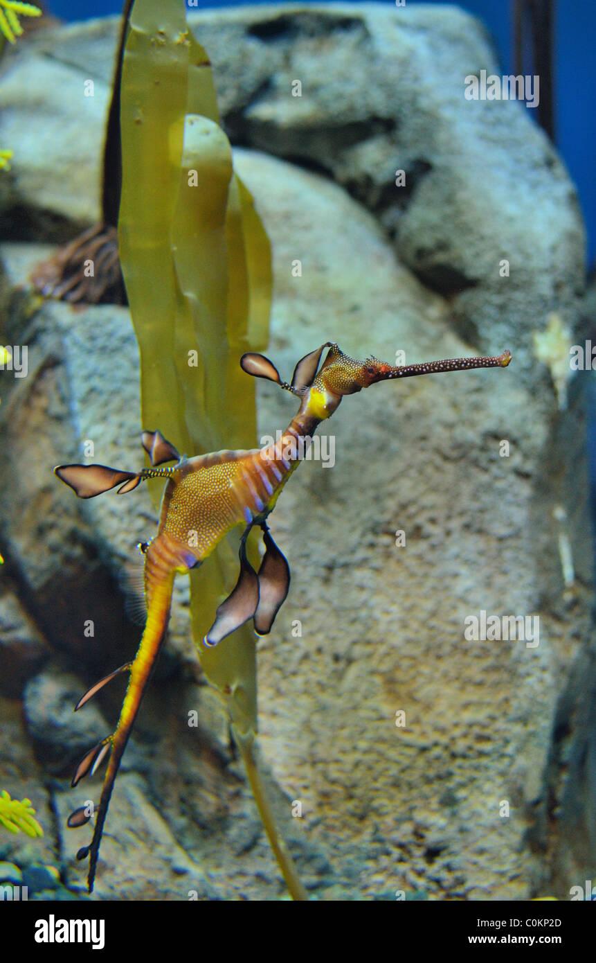 Caballito de mar en aguas tropicales. Imagen De Stock