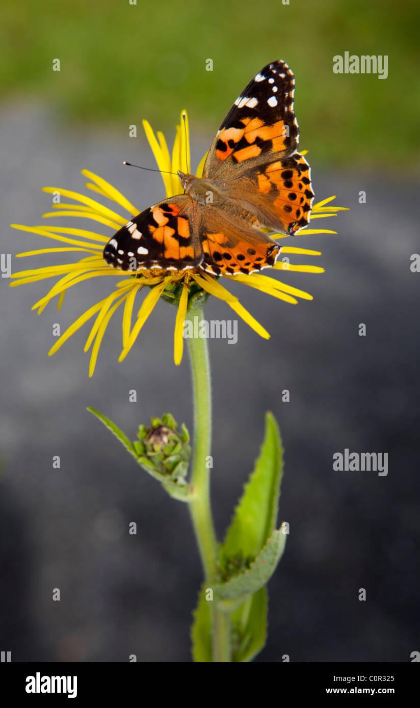 Dama pintada ( Vanessa cardui , Nymphalidae ) mariposa chupar néctar de flor amarilla, Finlandia Foto de stock