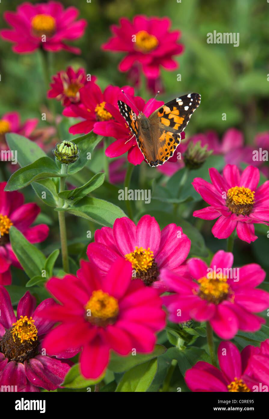 Dama pintada ( Vanessa cardui , Nymphalidae ) mariposa chupar néctar de flores rojas , Finlandia Foto de stock