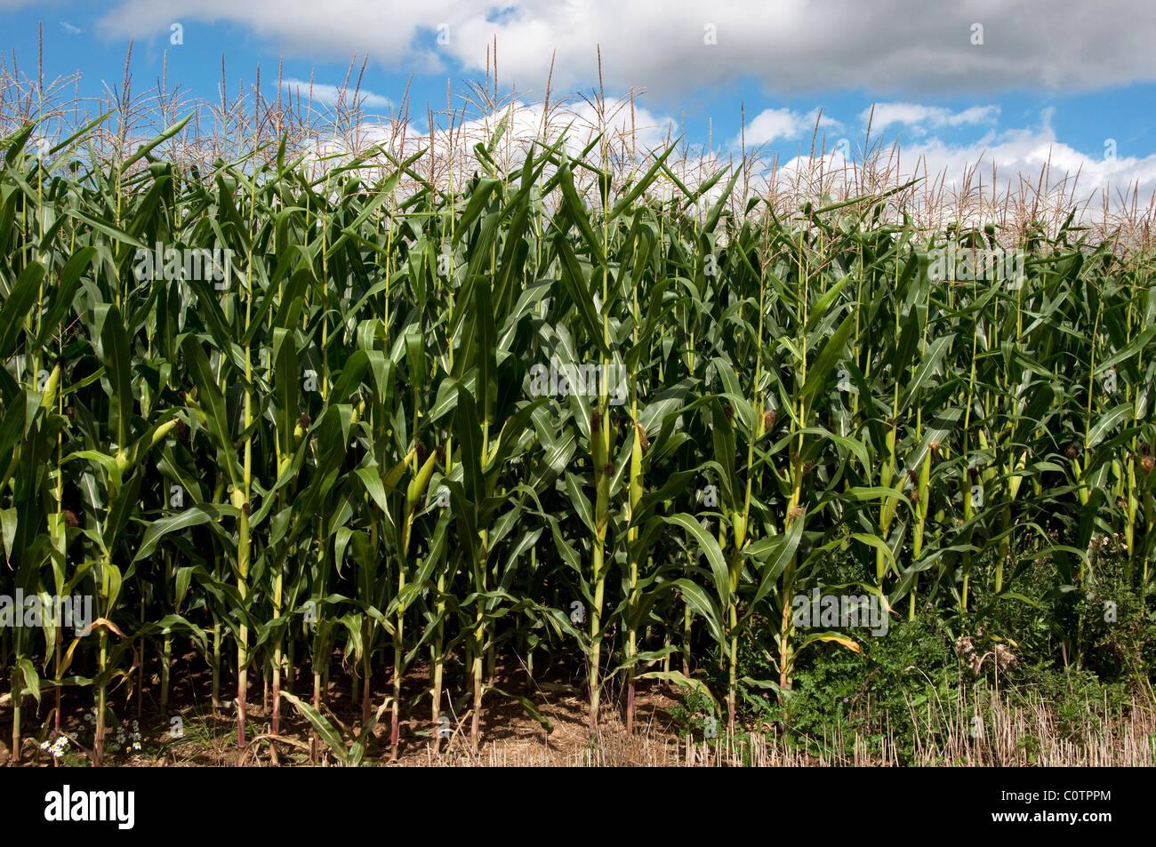 El maíz, el maíz (Zea mays). Borde de un campo de flores. Imagen De Stock