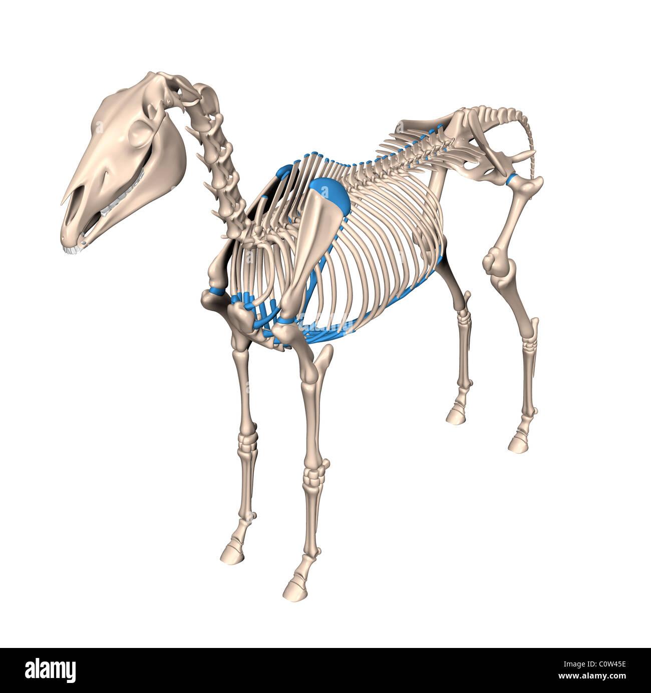 Anatomía del caballo esqueleto Foto & Imagen De Stock: 34972826 - Alamy