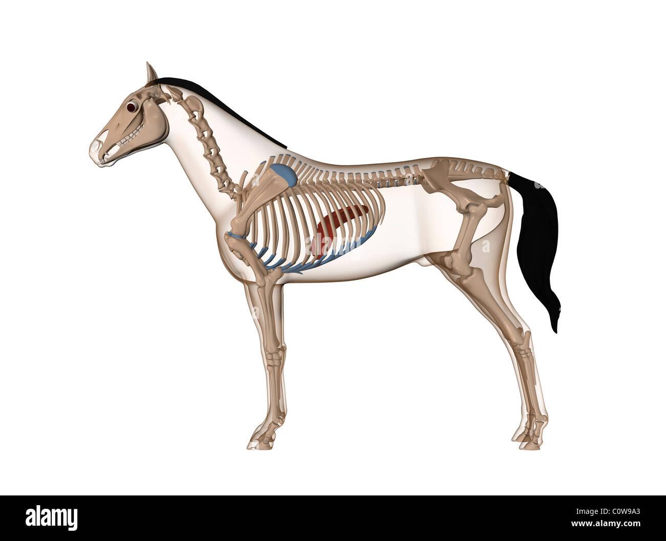 Hígado anatomía del caballo Foto & Imagen De Stock: 34976875 - Alamy