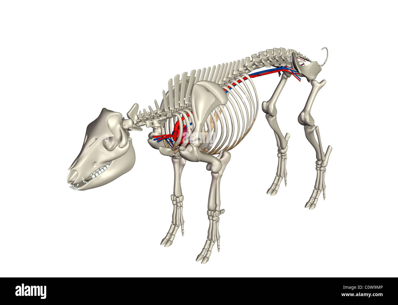 Anatomía del cerdo corazón Circulación esqueleto Foto & Imagen De ...