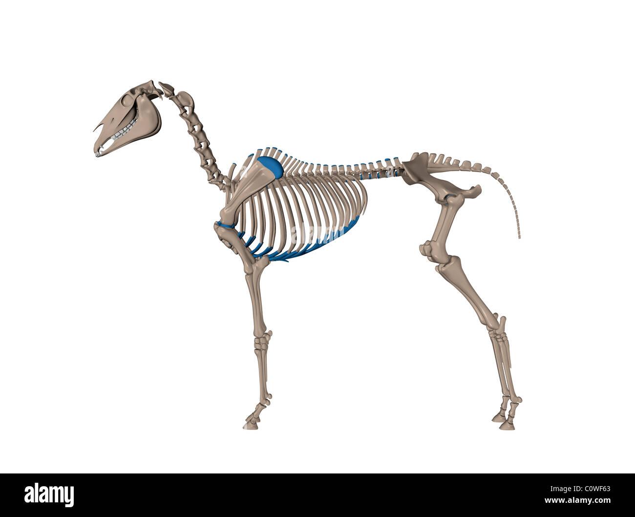 Anatomía del caballo esqueleto Foto & Imagen De Stock: 34981467 - Alamy