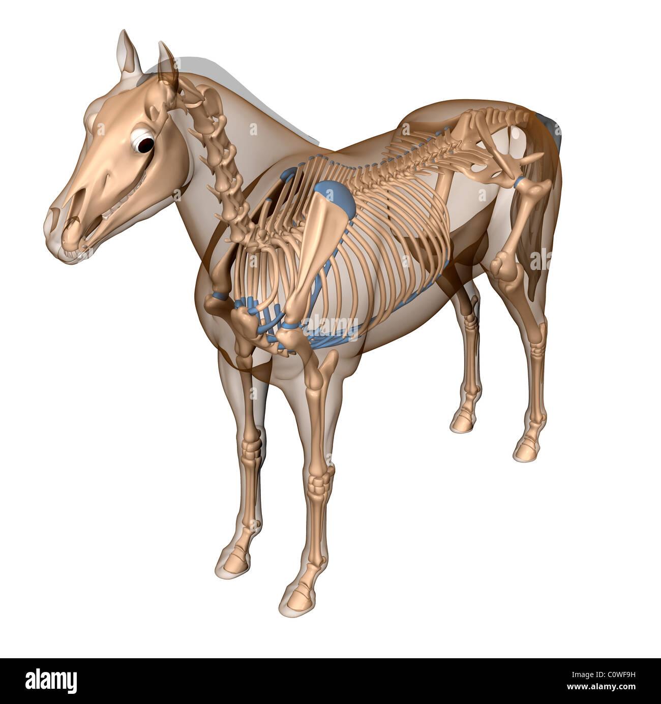 Anatomía del caballo esqueleto cuerpo transparente Foto & Imagen De ...