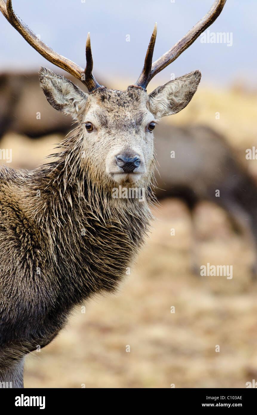 Ciervo rojo ciervo Foto de stock