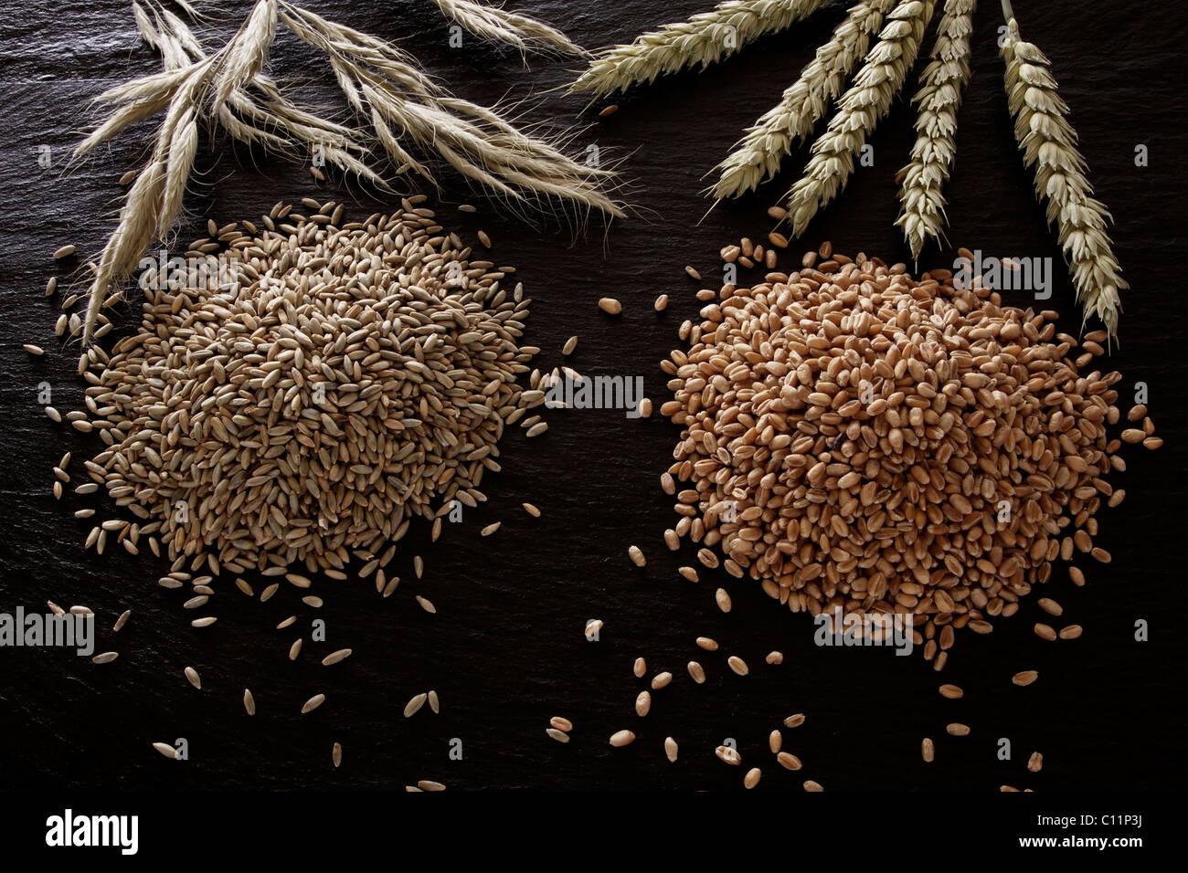 El centeno (Secale cereale) y trigo (Triticum) sobre una pizarra Imagen De Stock