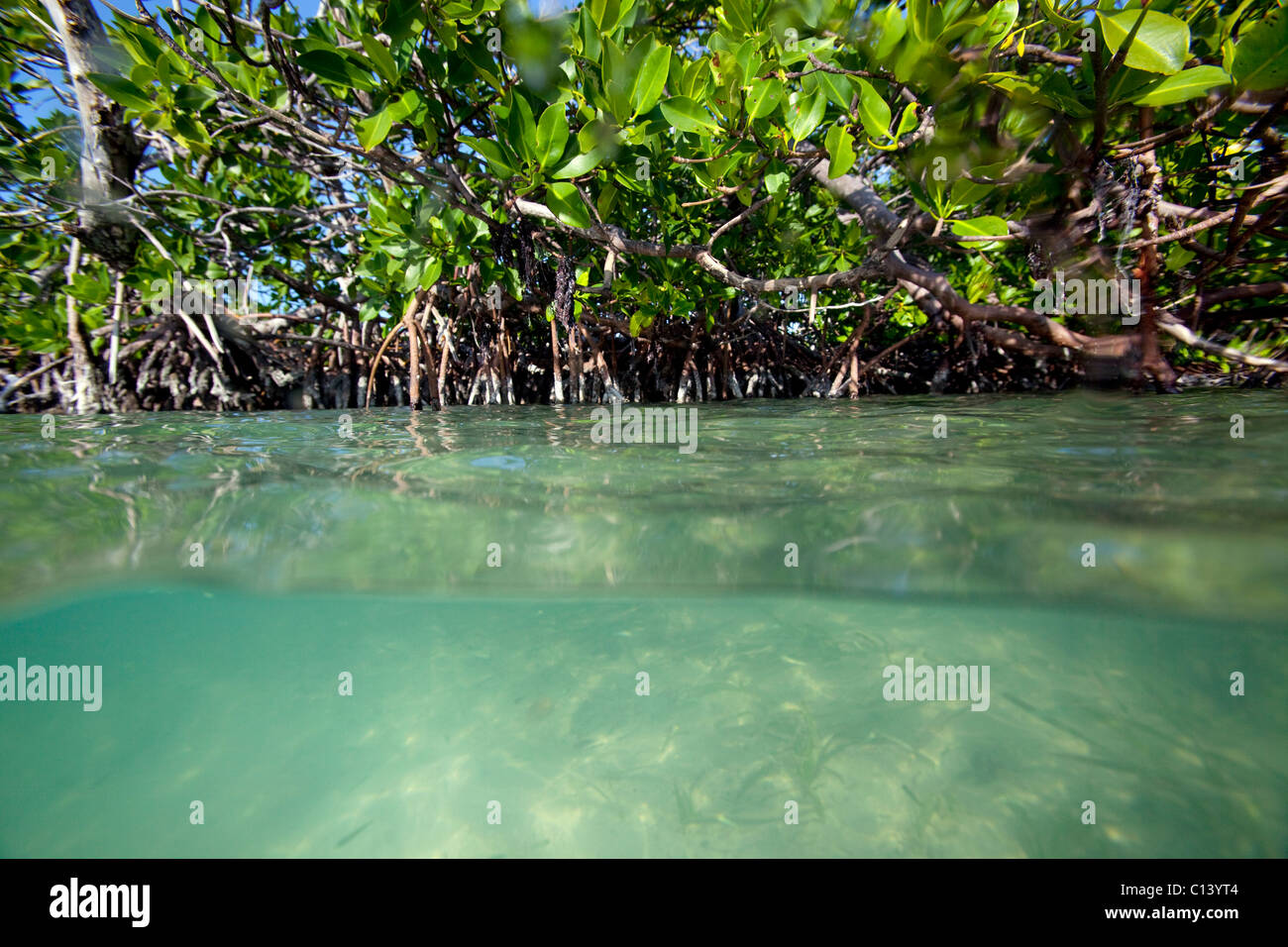 Split-vista de un bosque de manglar Foto de stock