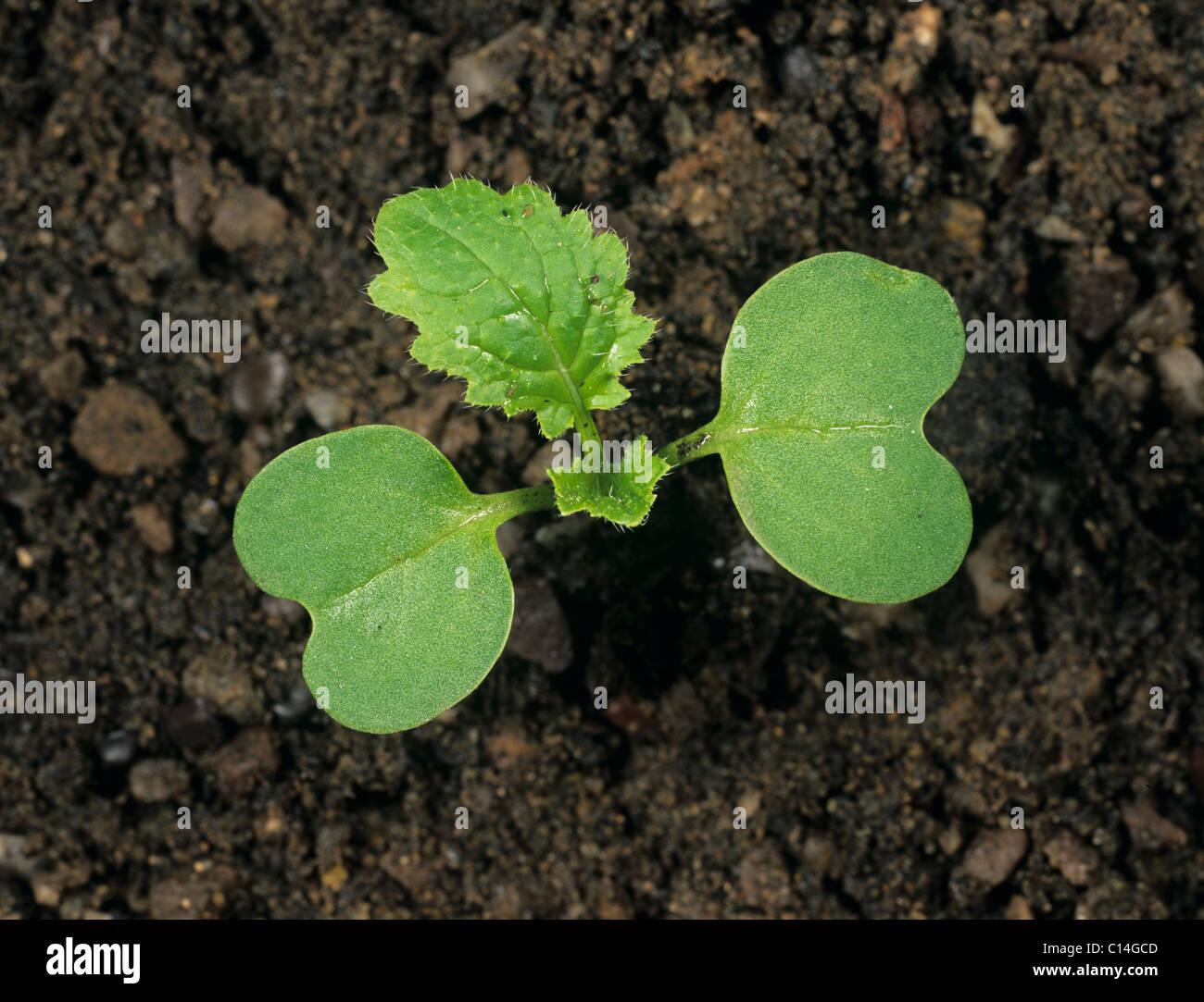 Nabo (Brassica rapa) Plántula con cotiledones y hojas verdaderas formando Imagen De Stock