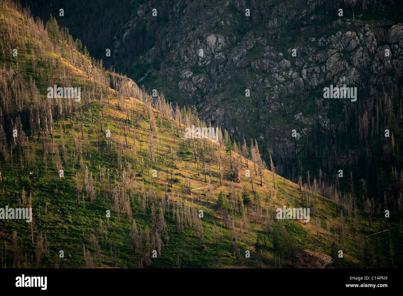 Cubierta de pinos muertos una pendiente pronunciada en las orillas del Lago Chelan en el condado de Chelan, el norte del estado de Washington. Foto de stock