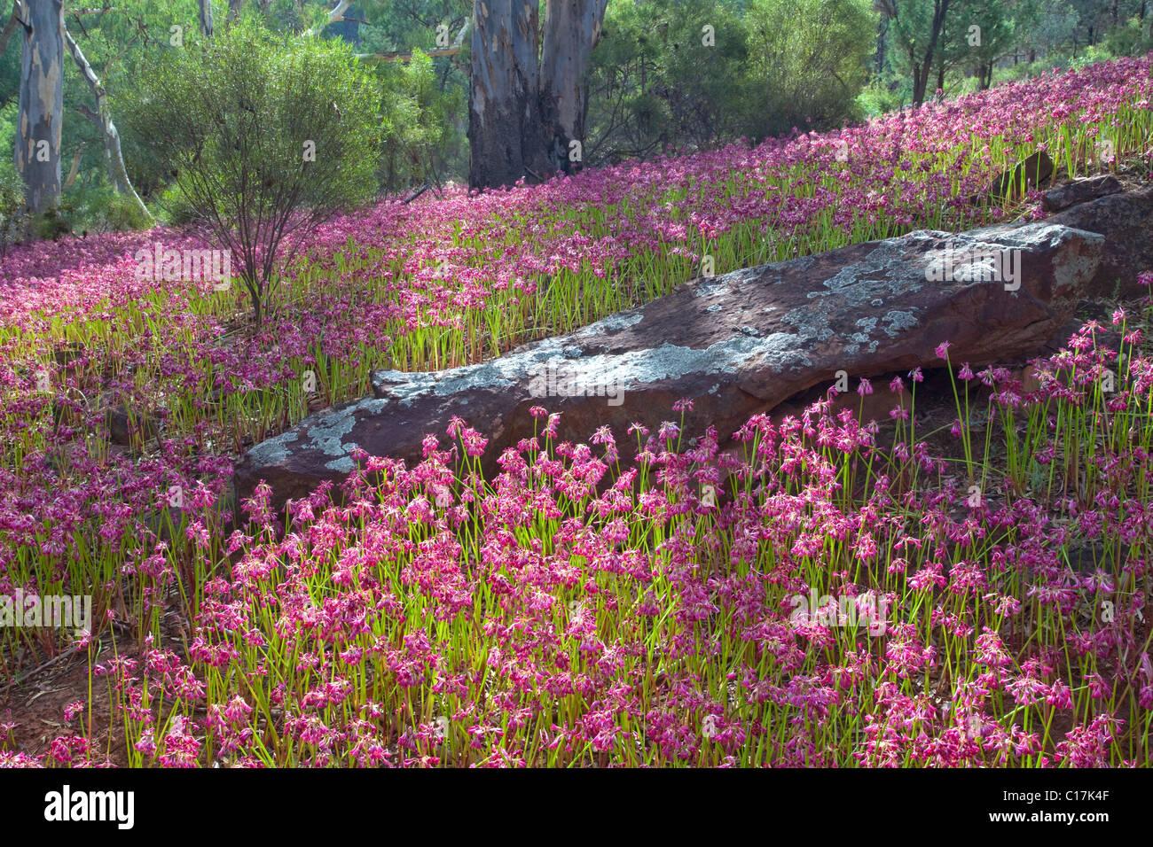 Garland lirios (Calostemma purpureum), rangos Flinder National Park, South Australia, Australia Foto de stock
