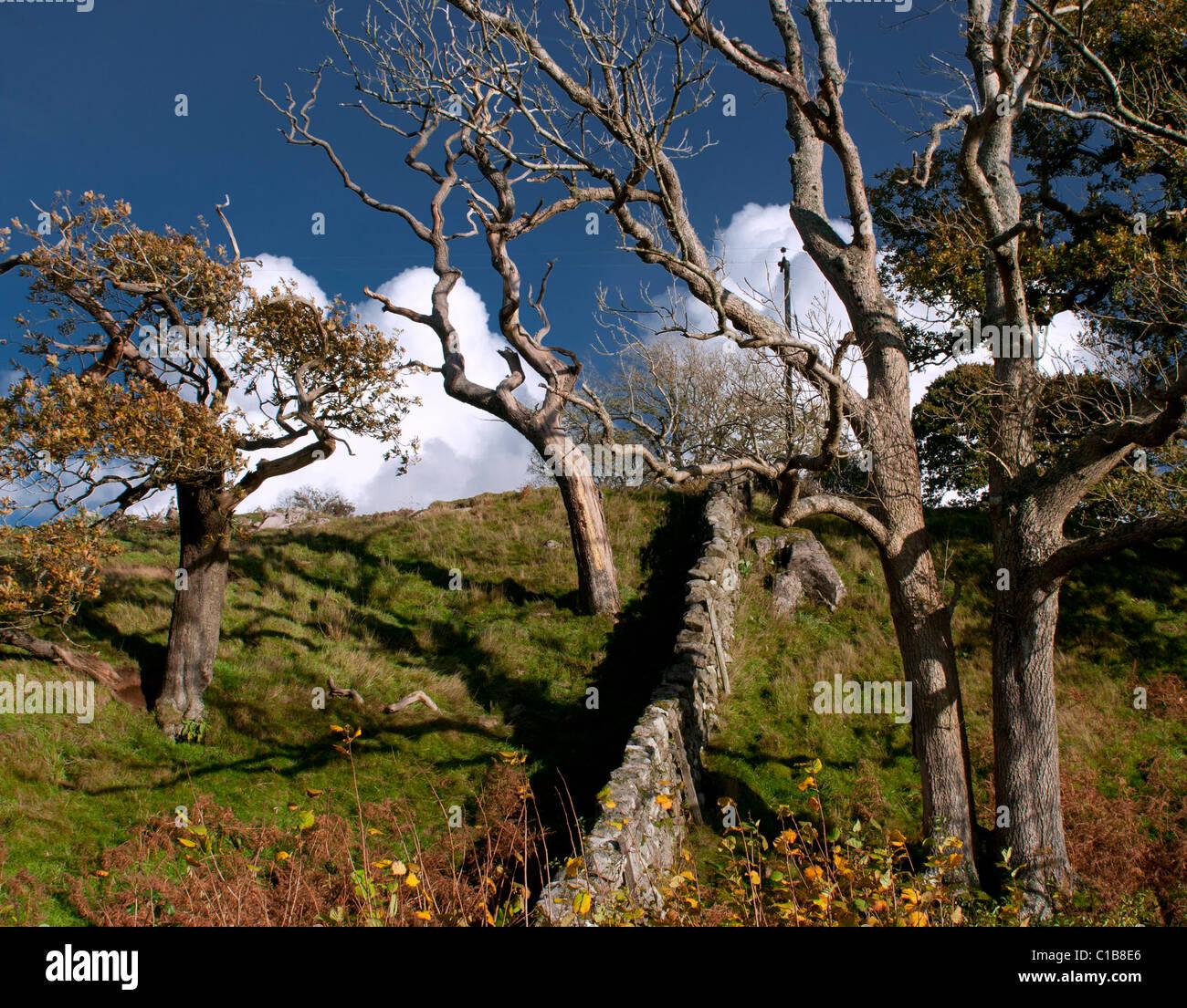 Texturas resistente de troncos desnudos y piedra Dyke, Galloway en otoño Imagen De Stock
