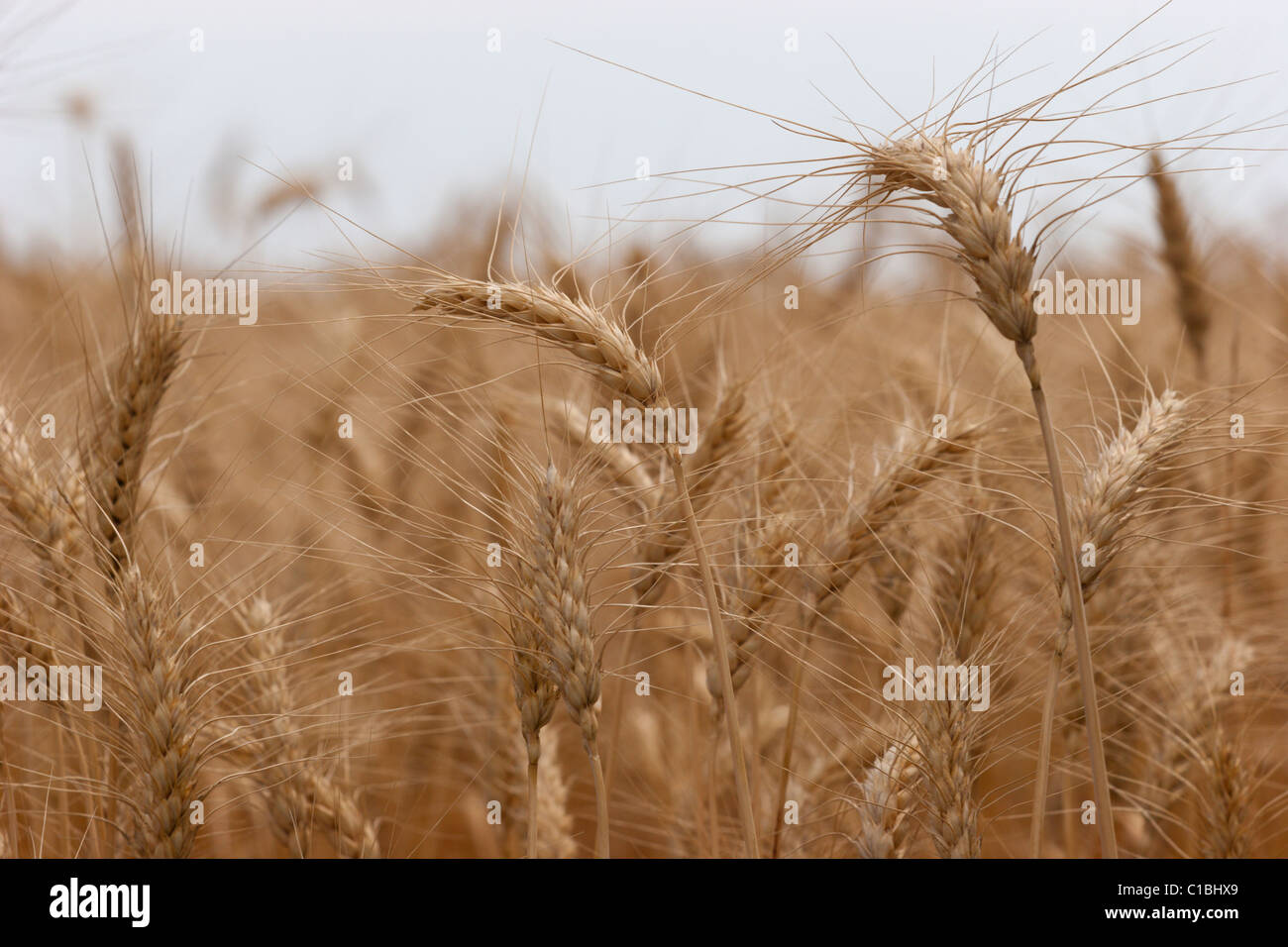 Cebada cereal de trigo la cosecha de cultivos agrícolas de campo de alimentos de oro Imagen De Stock