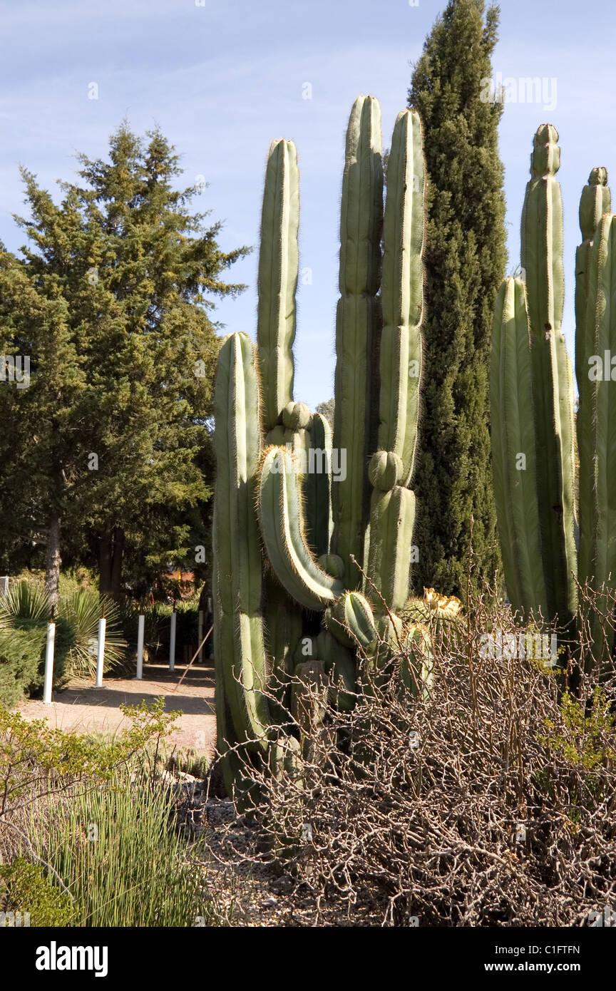 Stenocereus dumortieri en el jardín botánico de la UNAM Imagen De Stock