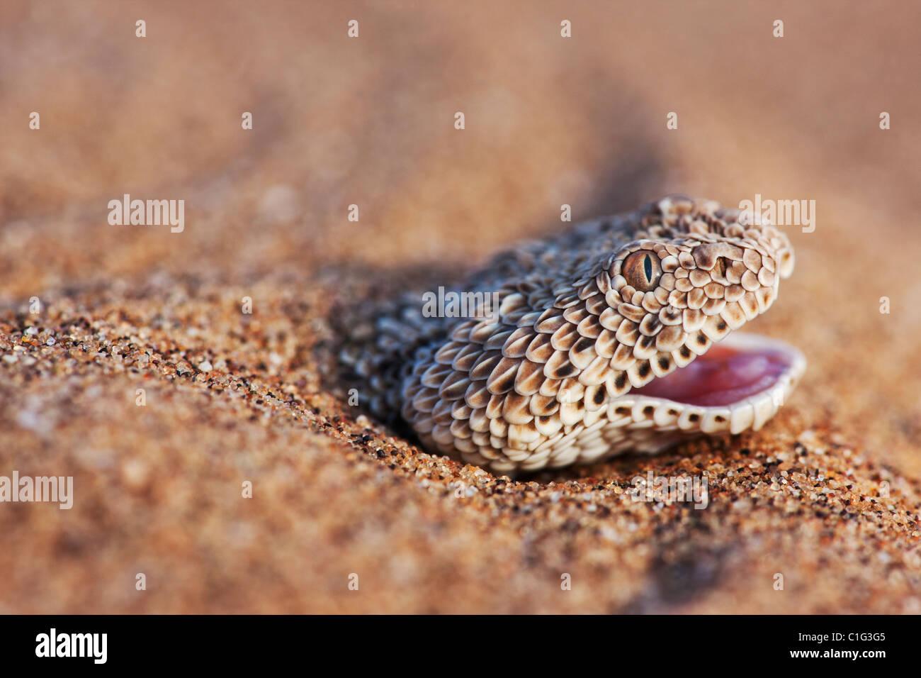 El Sidewinder sumador (Bitis peringueyi) es una especie de víbora venenosa en el desierto de Namib Imagen De Stock