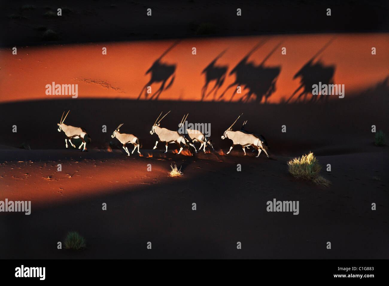 Gemsbok (Oryx gazella) en el típico hábitat del desierto. Dist. Suroeste y Norte de África Oriental. Imagen De Stock