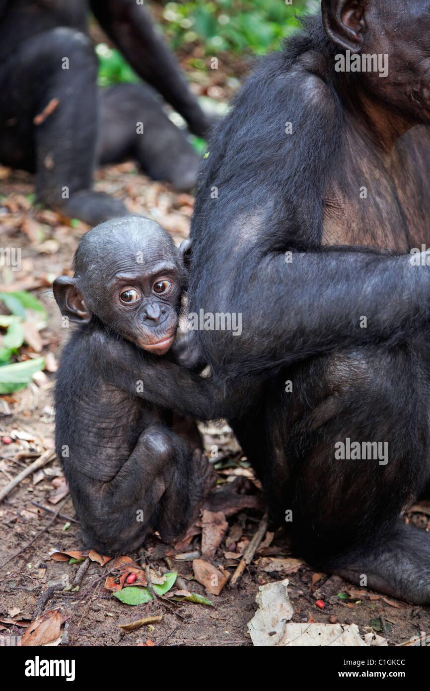 Adulto y bebé chimpancé Bonobo en el Santuario de Lola Ya Bonobo, República Democrática del Imagen De Stock