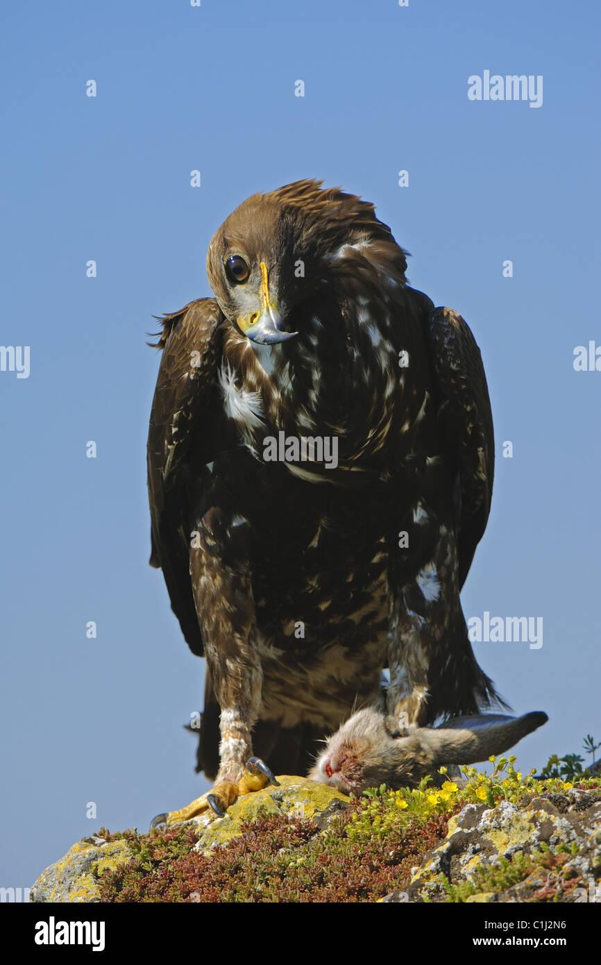 Golden Eagle con presa Foto de stock