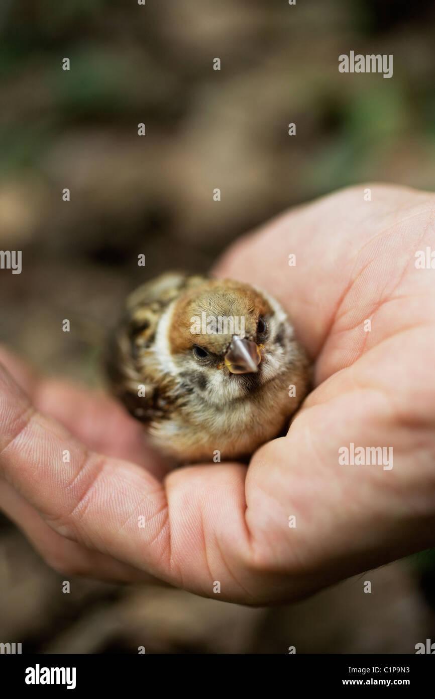 Pájaro joven en la mano humana, close-up Imagen De Stock