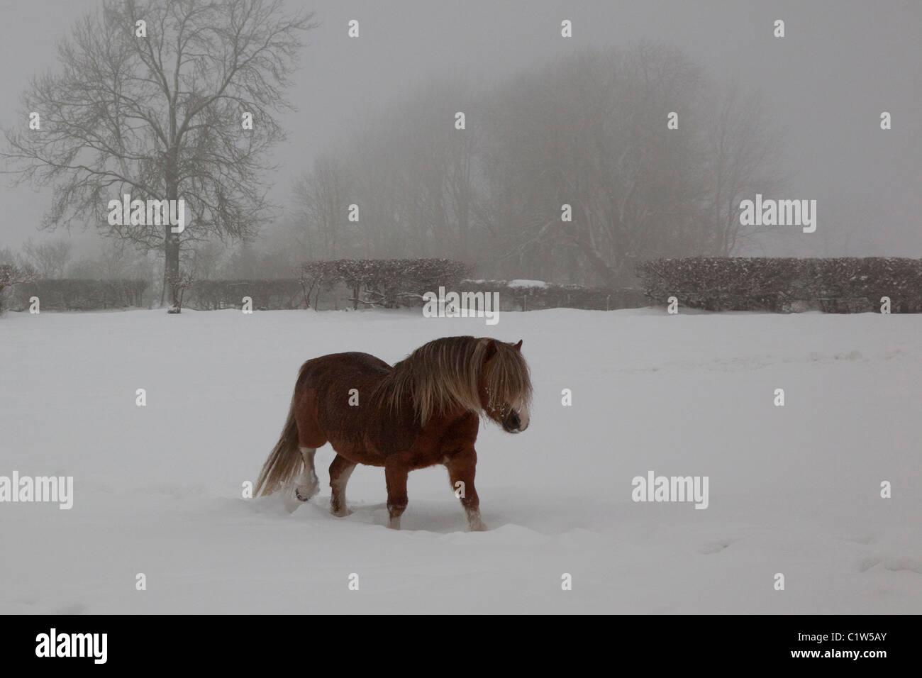 Little Pony en la nieve. Foto de stock