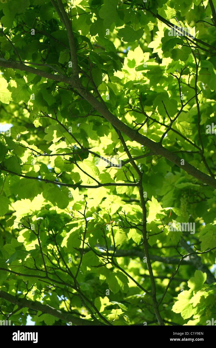 El verano las hojas de rboles que dan sombra en WoodlandsUK Foto
