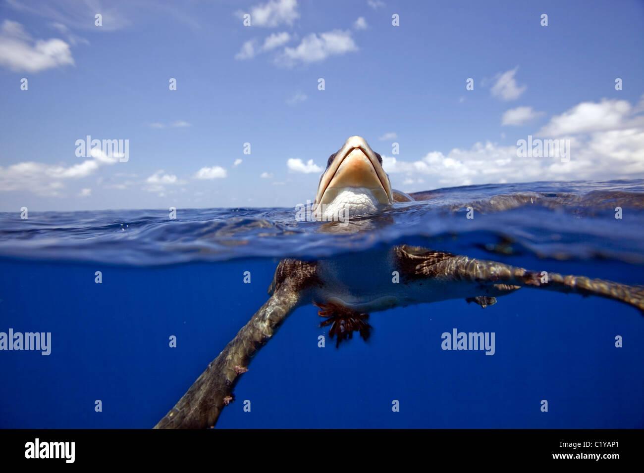 Una división de agua de un raro ver Ridley de Tortugas Marinas en la Isla de Cocos en la costa de Costa Rica. Imagen De Stock