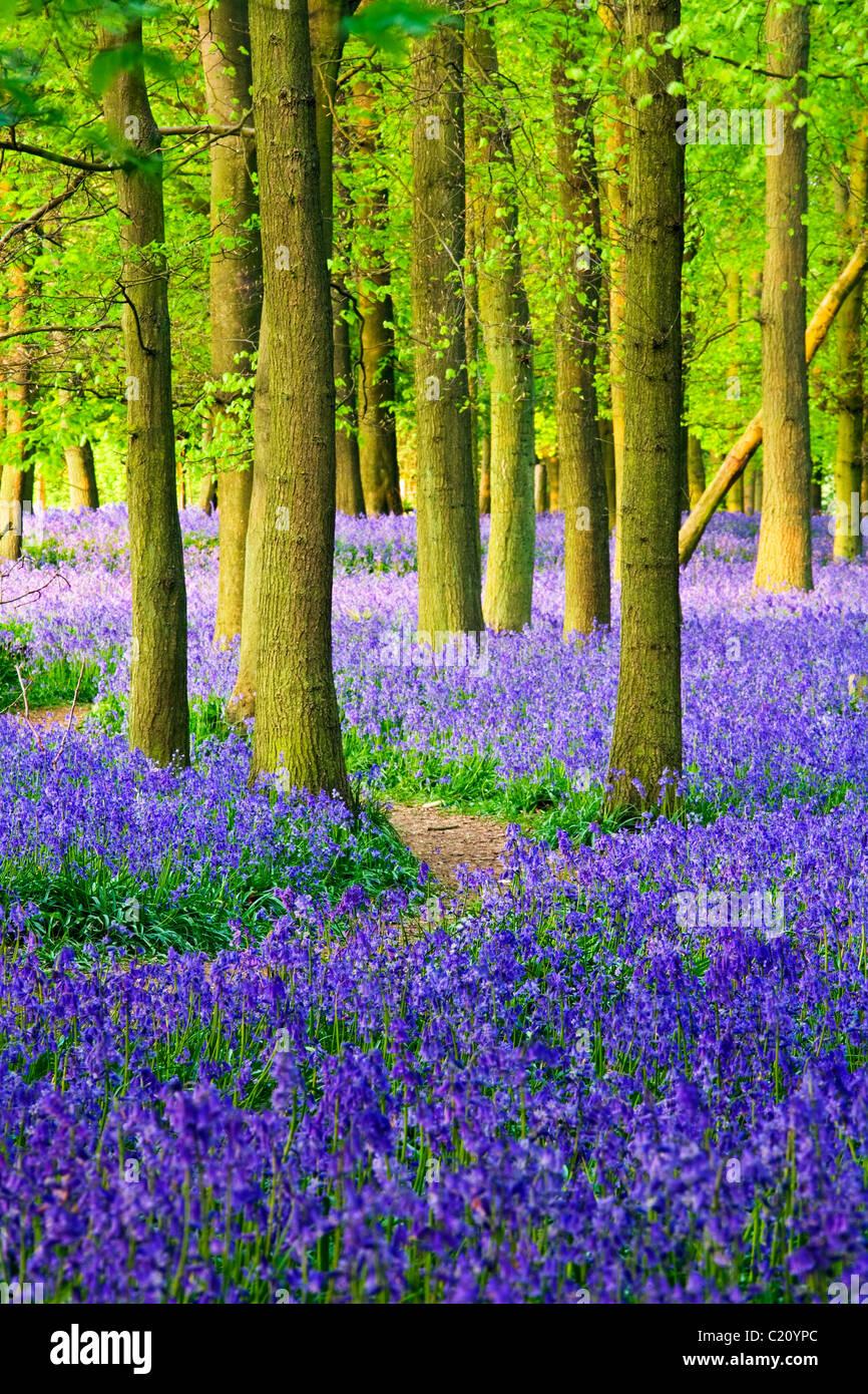 Las campánulas azules(Hyacinthoides non-script) en el árbol de haya (Fagus sylvatica) madera, Hertfordshire, Inglaterra, Foto de stock