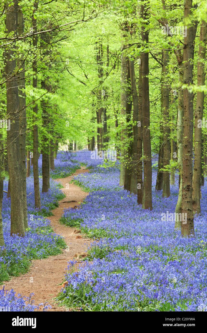 Las campánulas azules(Hyacinthoides non-script) en el árbol de haya (Fagus sylvatica) madera, Hertfordshire, Inglaterra, Reino Unido. Foto de stock