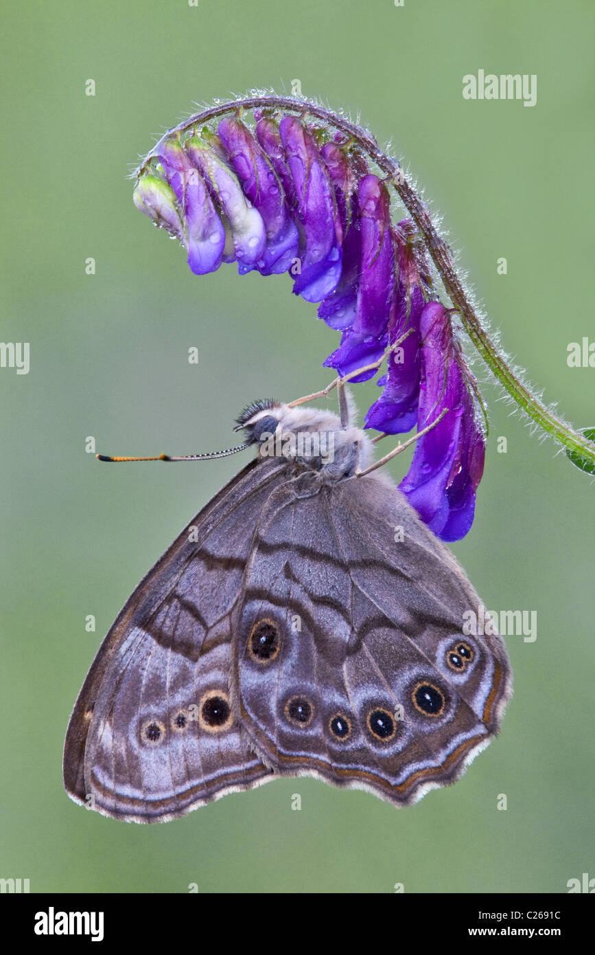 Perla del norte ojo Enodia mariposas jardín equipado alimentando polinizando Vaca Vicia Vicia cracca Este de los Foto de stock
