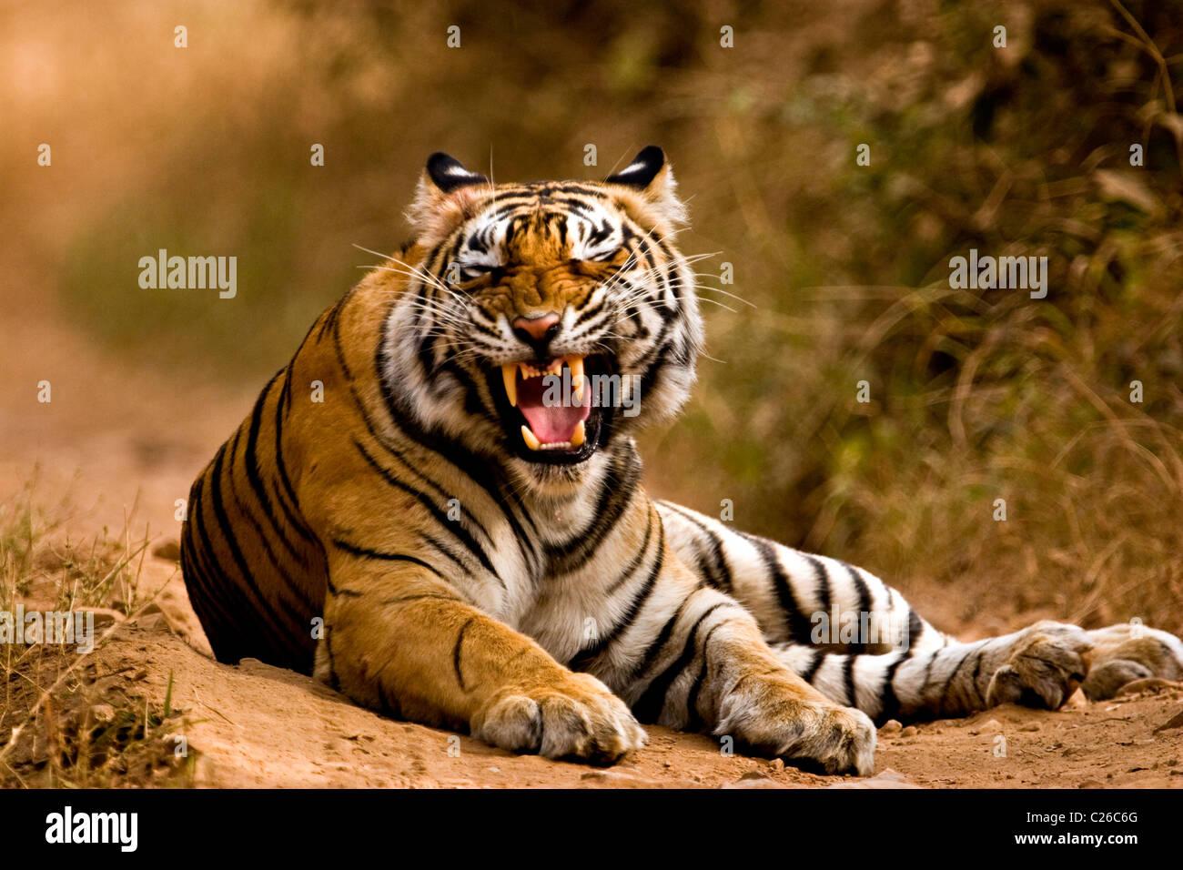 Tiger gruñendo en las pistas forestales de la reserva de tigres de Ranthambore Imagen De Stock
