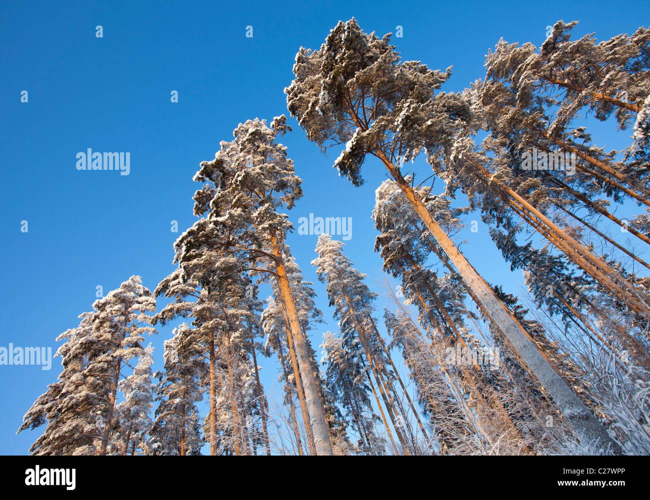 Pinos finlandeses ( Pinus sylvestris ) vistos desde abajo en invierno en el bosque de taiga , Finlandia Foto de stock