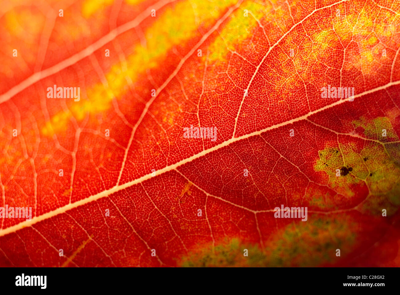 Hoja de Otoño, hojas de venas, Naranja hoja Imagen De Stock