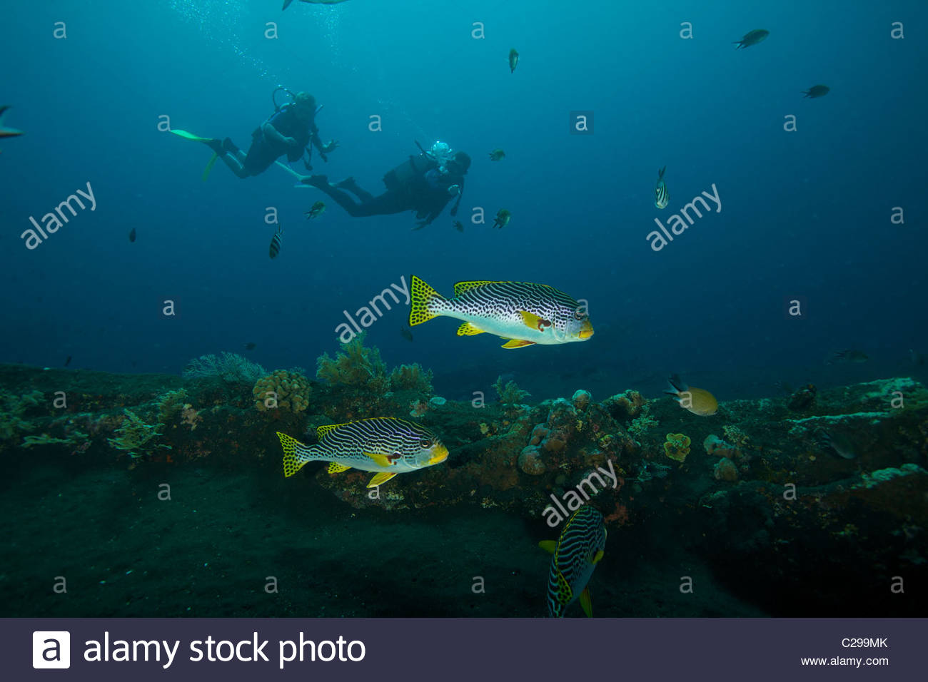 Buzos en el pecio Liberty con bandas diagonales sweetlips peces. Imagen De Stock