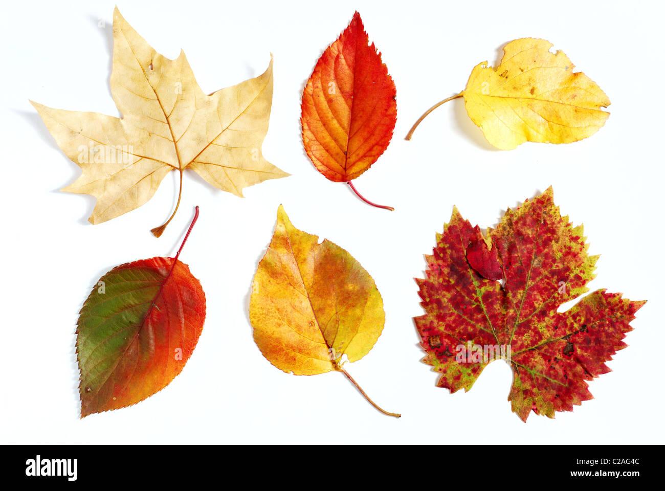 Variedad de color en el otoño las hojas fotografiado sobre fondo blanco. Imagen De Stock